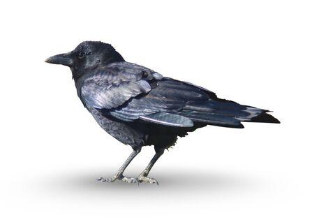 Black Crow Isolated on White Background Archivio Fotografico