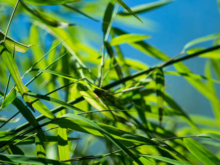 Green Bamboo Leaves Blowing in Wind with Blue Sky Reklamní fotografie