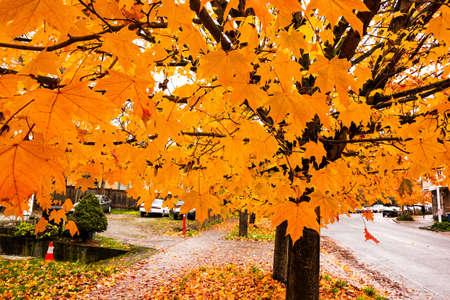 changing color: Autumn Maple Tree Leaves Cambio de color y ca�da a tierra