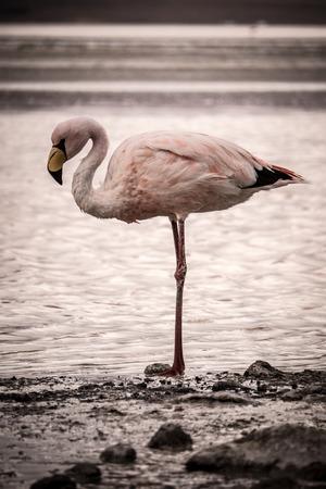 saddened: single flamingo looks pensive, degected and saddened in the Altiplano of Bolivia, South America. Stock Photo