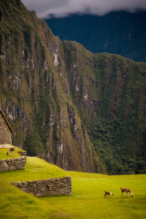 daunting: A family of Alpacas graze quietly at the famous tourist and traveler destination, Machu Picchu. Stone terraces are visible as are the daunting surrounding mountains. Stock Photo