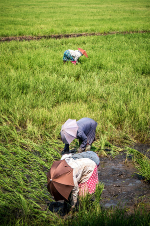 work worker workforce world: Hard working females tend to a rice paddy field in southern India.