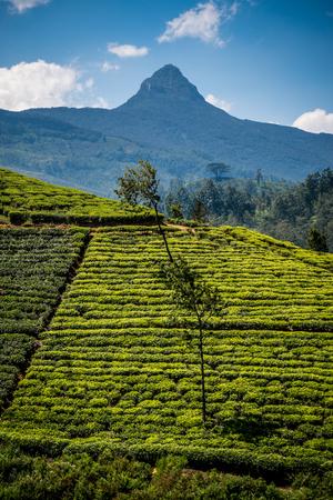 adams: Adams Peak in Sri Lanka stands proudly over the surrounding tea plantations.