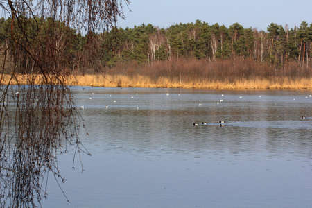 a lot of durcks swimming in this bavarian lake in spring photo