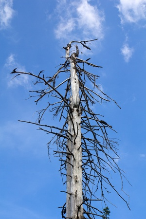 a dead tree in the bavarian forest, beautiful blue sky behind photo