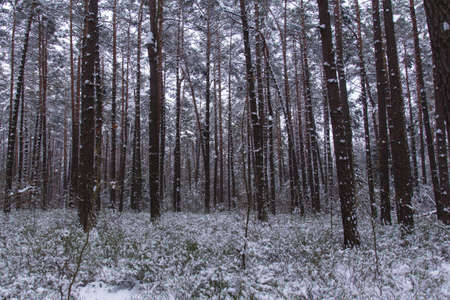 snow in the forest on a cold day in bavaria photo