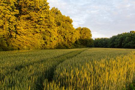 A cornfield in bavaria at sundown photo