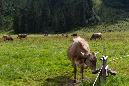 trecking: Cows in the alps, next to Oberstdorf in Bavaria