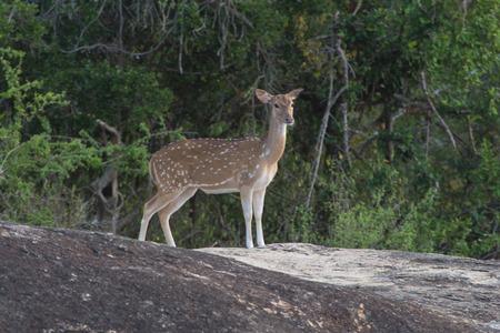 yala: Beautiful male spotted deer at national park Yala, Sri Lanka