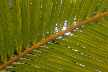 natural arch: The leaves of a palm