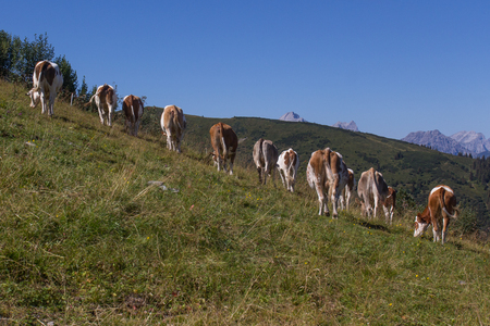 fuegen: cows in the alps next to Fuegen in the Zillertal in Austria, F?gen