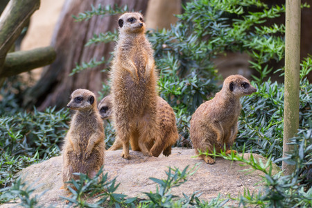 suricates standing on a little rock in the zoo Stock Photo