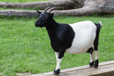 a goat on the grassland in summer