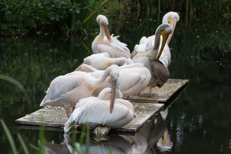 a lot of pelicans sitting in the water, little pond