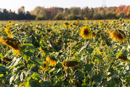 a big field of sunflowers on a field next to Schwandorf in bavaria, autumn