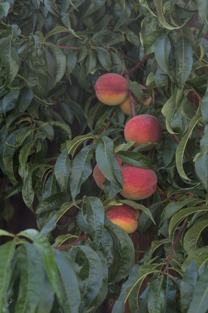 a lot of red peaches hanging on a tree Foto de archivo