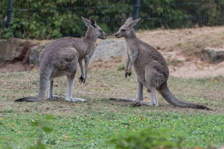 two playing kangaroos in a zoo