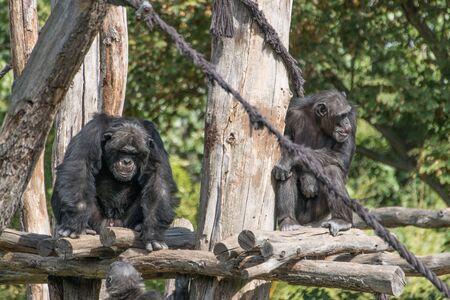 a monkey in the zoo Leipzig in Germany