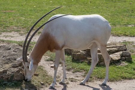 Scimitar-horned oryx at the zoo in Leipzig