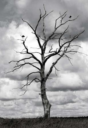 2 つのコウノトリと枯れ木の黒と白の画像