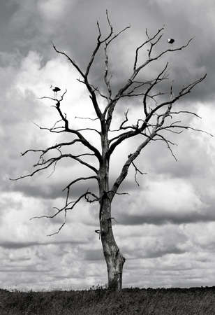 Black and white picture of dead tree with two storks  Stok Fotoğraf