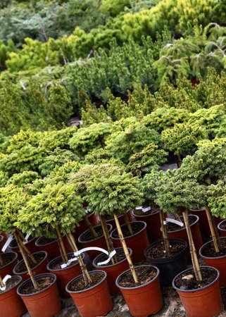 保育所で売られている針葉樹の庭の植物 写真素材