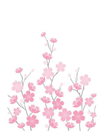 Illustration of Cherry Blossoms on White