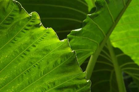 wild yam: Yam Leaves Close-up