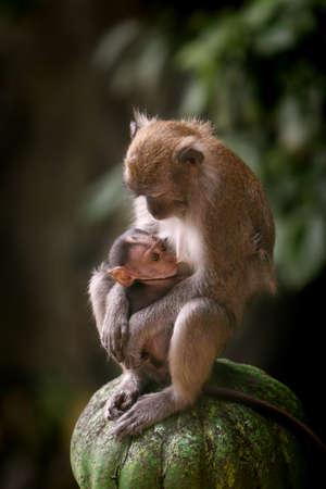 Mother macaque monkey breastfeeding her