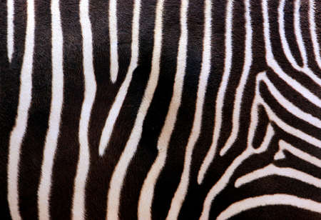 Close-up abstract photo of zebra stripes