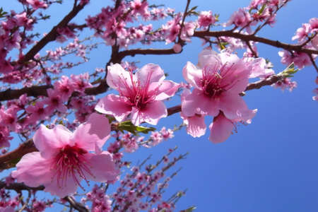 Close up of cherry blossoms in full bloom in spring