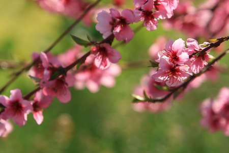 Cherry blossoms in spring against a green background