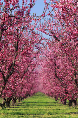 Cherry blossoms in full bloom at an orchard in spring