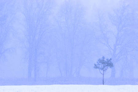 Snow falls across the landscape of a young lone pine tree against black oak trees in winter Stock Photo