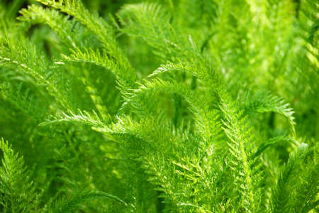 Green Nature Background-delicate foliage in soft sunlight Stock Photo
