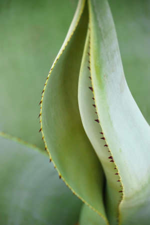 Close-up of the agave leaf with shallow depth-of-field, focused on some of its thorns