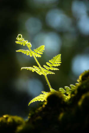 Young healthy fern growing in the sunlight Stock Photo