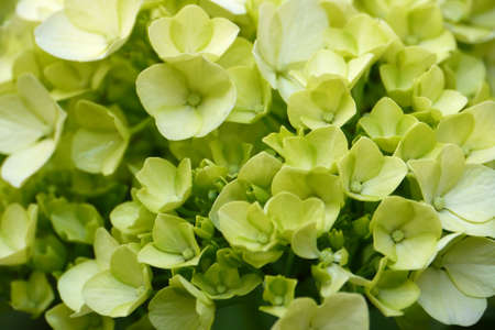 Young blossom of green hydrangea Stock Photo