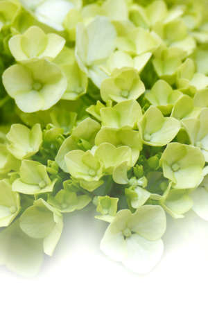 Soft dreamy green hydrangeas  Suitable for backgrounds