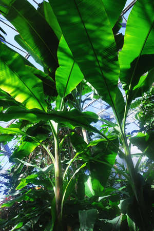 The Banane Tree in the greenhouse