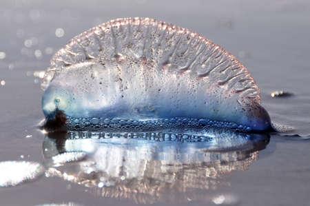 portugese: jellyfish Stock Photo