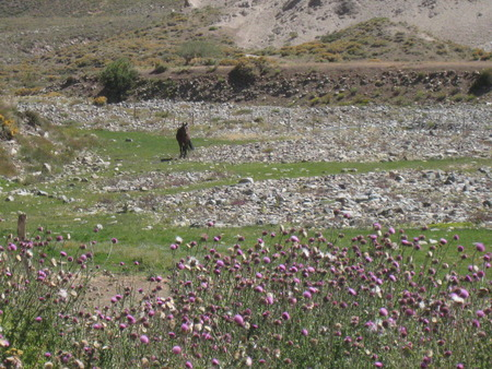 blowed: A wild horse blowed by the wind at a wild field with flowers in the mountain
