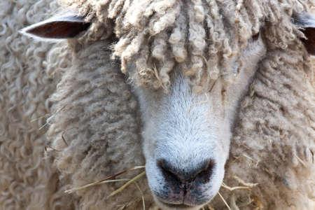sheep: Detalle de cara de ovejas lanudo