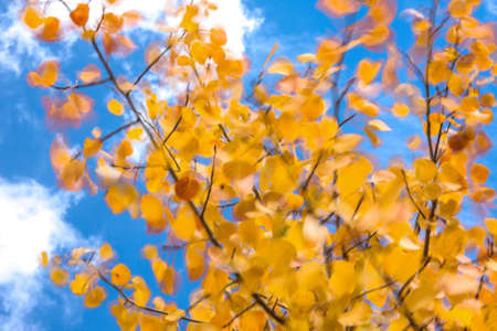quaking aspen: Quaking Aspen - Golden Leaves Blowing in a Breeze