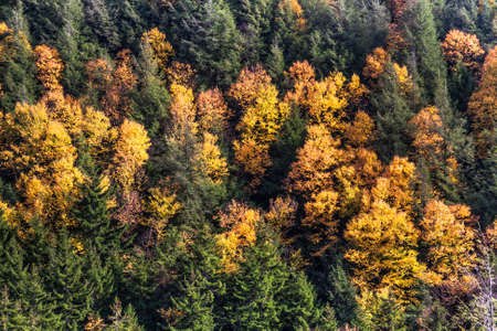 evergreen trees: Autumn Golds among Evergreen Trees Stock Photo