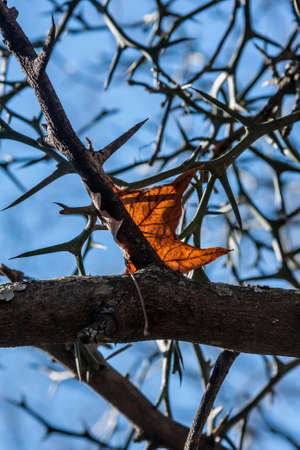 Autumn Leaf in Thorny Branches, Blue Sky Background Stock Photo - 17085538