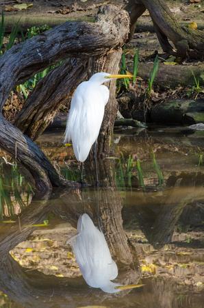 reflection: Perfect Egret Reflection Stock Photo