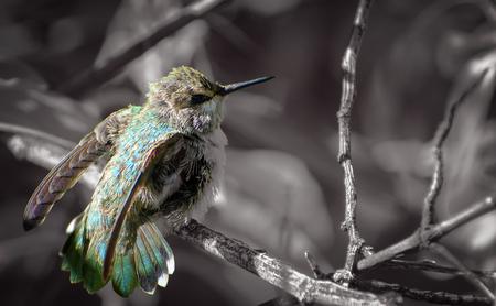 Fledgling Hummingbird Stretching Wings Banco de Imagens