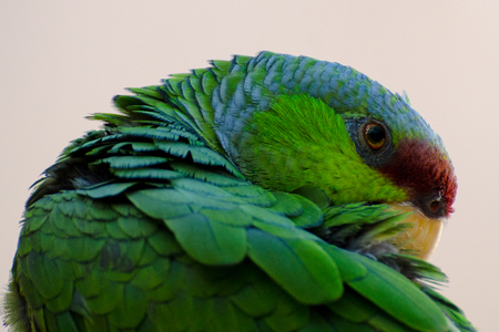 Lilac-crowned Amazon Parrot Grooming