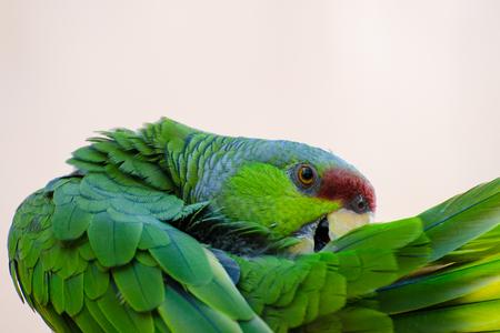 라일락 관을 씌운 아마존 앵무새 손질